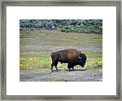 Bison In Lamar Valley Framed Print by Marty Koch