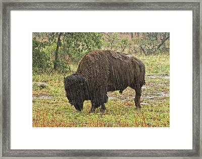 Bison In Rain Framed Print