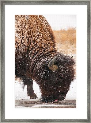 Bison In Snow_1 Framed Print