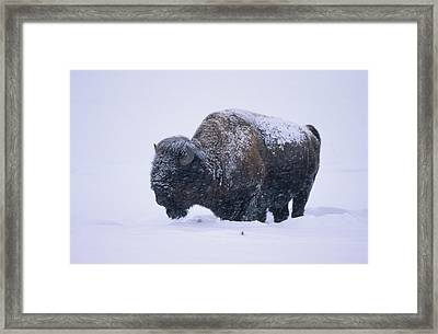 Bison In Snowstorm, Yellowstone Framed Print