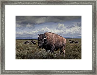 Bison In The Grand Tetons Framed Print