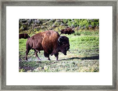 Bison In Yellowstone Framed Print by Sophie Vigneault