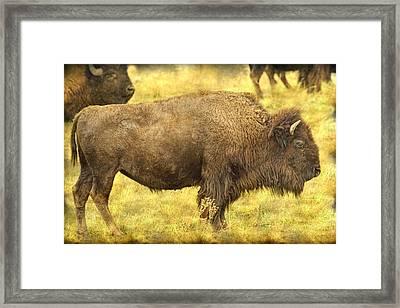 Bison Framed Print by James BO  Insogna