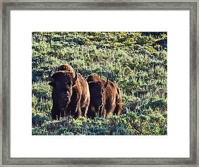Bison Morning Framed Print
