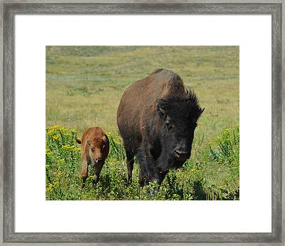 Bison Mother And Calf Framed Print by Dakota Light Photography By Dakota