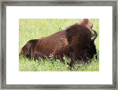 Framed Print featuring the photograph Bison Nap by Alyce Taylor