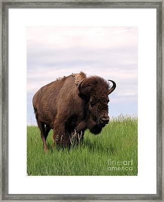 Bison On The Prairie Framed Print by Olivier Le Queinec