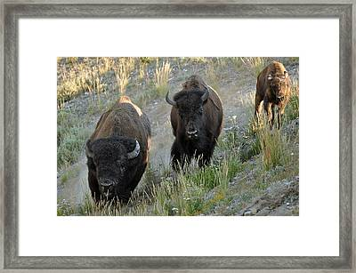 Bison On The Run Framed Print by Bruce Gourley