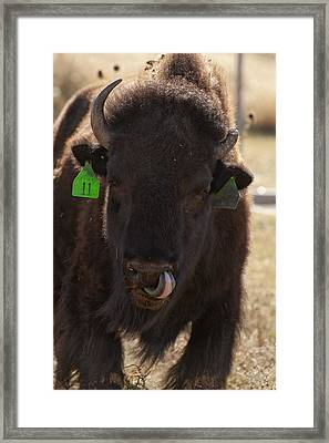 Bison One Horn Tongue In Nose Framed Print by Melany Sarafis