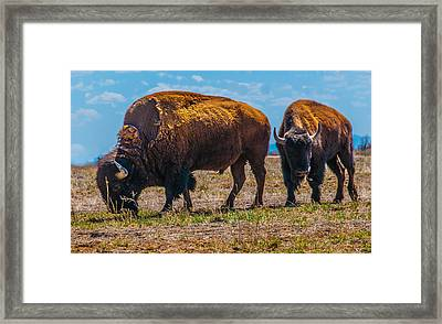 Bison Pair_1 Framed Print