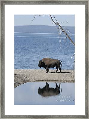 Bison Reflecting Framed Print by Bob Dowling