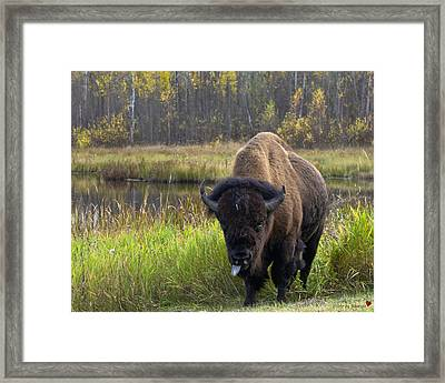 Framed Print featuring the photograph Bison by Rhonda McDougall