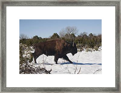 Bison Running In Snow Framed Print by Melany Sarafis