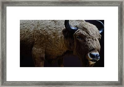 Bison Stuffed Framed Print