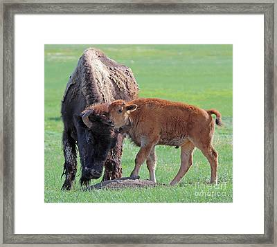 Framed Print featuring the photograph Bison With Young Calf by Bill Gabbert
