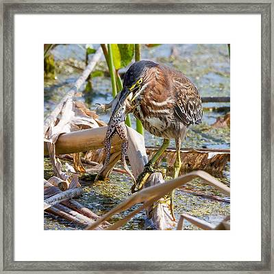Framed Print featuring the photograph Green Heron Has A Frog In Its Throat by Phil Stone