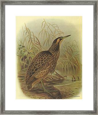 Bittern Framed Print by Rob Dreyer