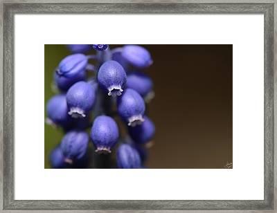 Bitty Blue Bells Framed Print by Lisa Knechtel
