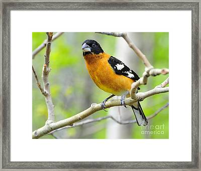 Blach-headed Grosbeak Framed Print
