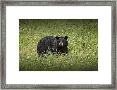 Black Adult Bear Outside Of Orr Minnesota Framed Print by Randall Nyhof