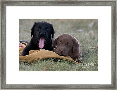 Black And Chocolate Labradors Framed Print by Linda Freshwaters Arndt