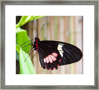 Black And Red Cattleheart Butterfly Framed Print by Amy McDaniel
