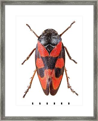 Black-and-red Froghopper Framed Print by Natural History Museum, London