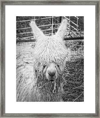 Black And White Alpaca Photograph Framed Print by Keith Webber Jr