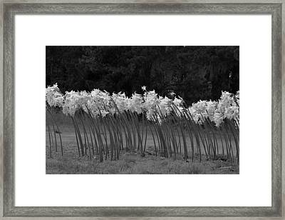 Black And White Amaryllis Framed Print by Denice Breaux