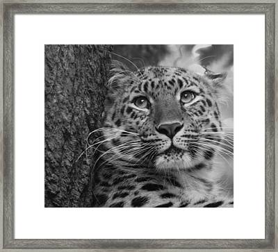 Black And White Amur Leopard Framed Print