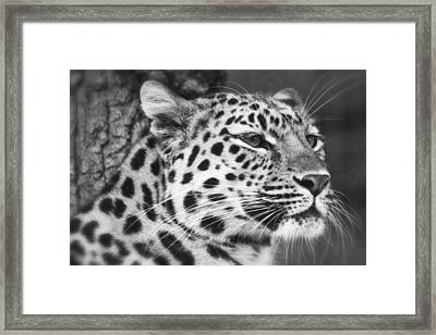 Black And White - Amur Leopard Portrait Framed Print