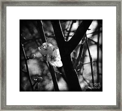 Black And White Appleblossom Framed Print