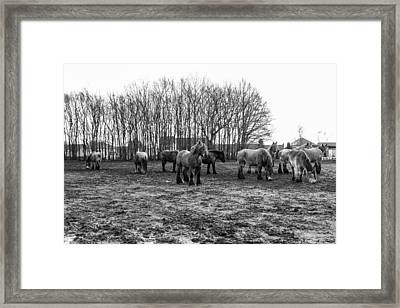 Black And White Belgian Horses Framed Print by Pati Photography