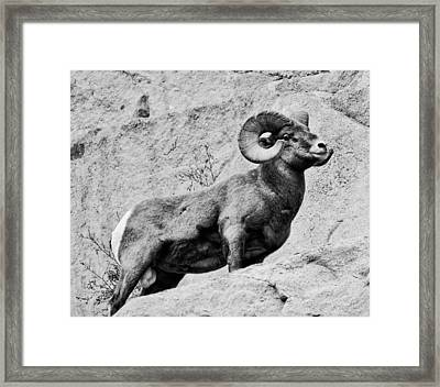 Black And White Bighorn Framed Print by Kevin Munro