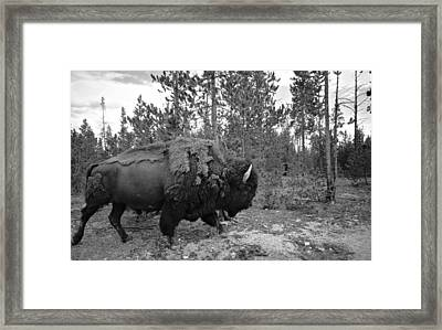 Black And White Bison In Yellowstone Framed Print
