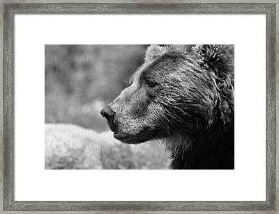 Black And White Brown Bear Framed Print by Dan Sproul