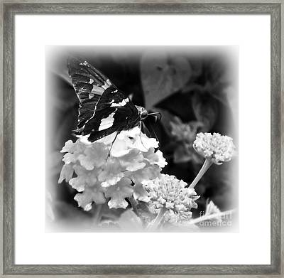 Black And White Butterfly Framed Print by Eva Thomas
