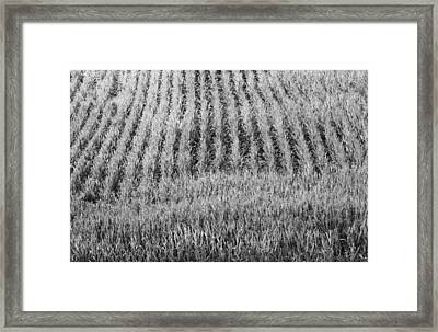 Black And White Cornfield Framed Print by Dan Sproul