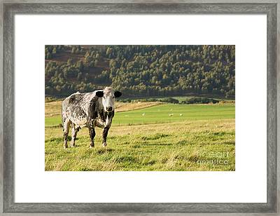Black And White Cow Framed Print by Jane Rix