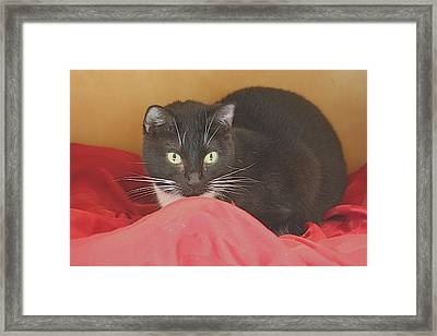 Black And White Kitty At Pet Helpers Framed Print