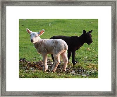 Black And White Lambs Framed Print by Elizabeth Debenham