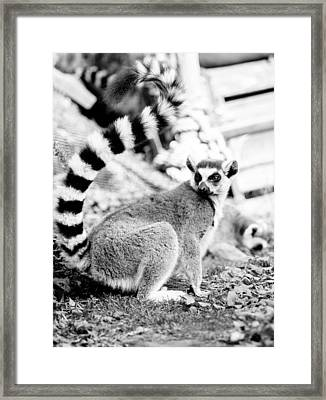 Black And White Lemur Framed Print by Pati Photography