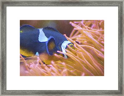 Black And White Ocellaris Clownfish - Painting Framed Print