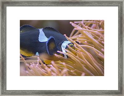 Black And White Ocellaris Clownfish Framed Print