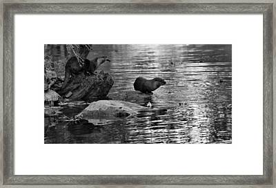 Black And White Otters In The Wild Framed Print by Dan Sproul