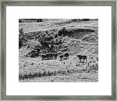 Black And White Photo Of Cows Grazing On Grass In Maine Framed Print