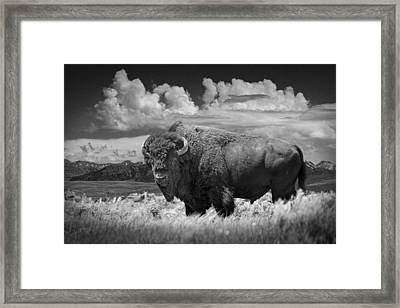 Black And White Photograph Of An American Buffalo Framed Print
