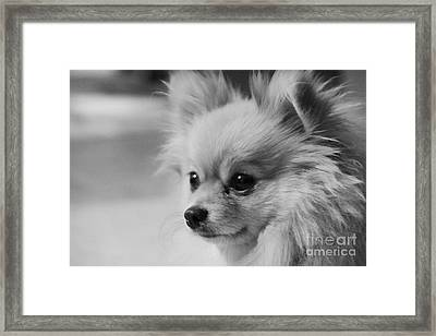 Black And White Portrait Of Pixie The Pomeranian Framed Print