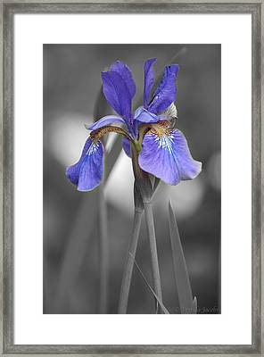Black And White Purple Iris Framed Print by Brenda Jacobs