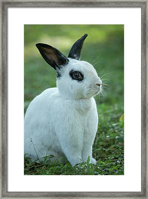 Black And White Rex Rabbit With Doe Framed Print